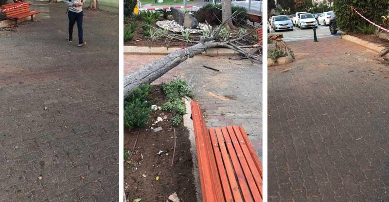 עץ שנפל ברחוב אחוזה. צילום עיריית רעננה