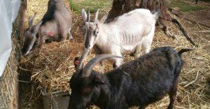 העזים בחווה