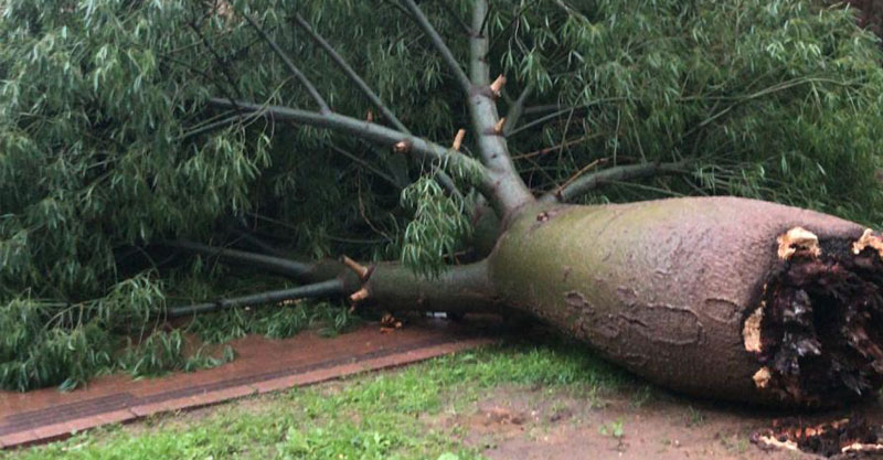 קריסת עץ ברחוב הלוטוס. צילום דוד חזרתי