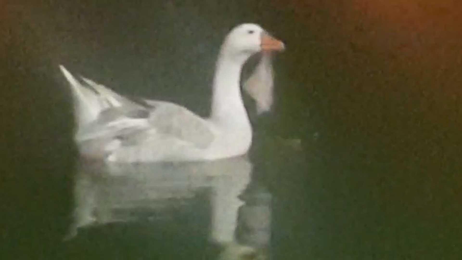 ברווז עם שקית ניילון תקועה בפיו. צילום: ענת מנדלוביץ'