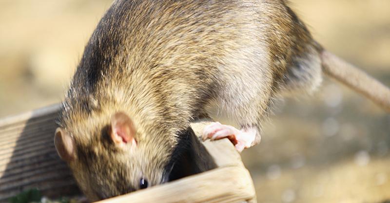 עכברים. צילום אילוסטרציה א.ס.א.פ קריאייטיב/INGIMAGE